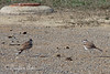 Mom and Dad Killdeer discussing the fine art of chick rearing.    (4/12/2014)
