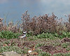 Even my camera had a hard time focusing on these fuzzy little guys! (Killdeer chick)   (4/5/2014)    (4/12/2014)