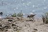 Little Killdeer chick searching for lunch on the shore   (4/14/2014)