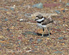 One of the baby Killdeer crossing the road.   (4/6/2014)    (4/12/2014)