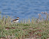 Their legs are getting longer.  Estimated age is 7-10 days.  (Killdeer chick)    (4/12/2014)