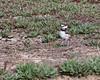 Heading back to Mom (Killdeer chick)    (4/12/2014)