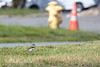 Luckily this little chick turned around and went back to his family. (Killdeer)    (4/12/2014)