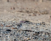 Killdeer chick runs off to look for lunch.    (4/5/2014)    (4/12/2014)
