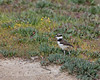 Off he goes...(Killdeer chick)    (4/12/2014)