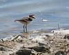 Killdeer chick wading along the shoreline   (4/14/2014)