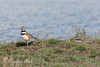 Parent and one of the chicks (Killdeer)    (4/12/2014)