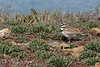 One of the parent Killdeer keeping watch over the chicks.  There are usually two parents on duty - one at each end.   (4/5/2014)    (4/12/2014)