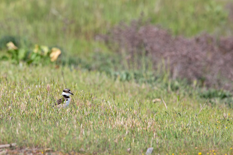 Little chick in a big world.  (Killdeer)    (4/12/2014)