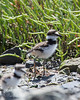 The parents are watchful, but the babys will sometimes walk right close (Killdeer chick)   (4/14/2014)