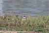 Killdeer chick (7-10 days old)    (4/12/2014)