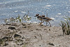 Killdeer chicks walking along the shoreline   (4/14/2014)