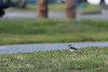 One of the wanderers approaches the path (Killdeer chick)    (4/12/2014)