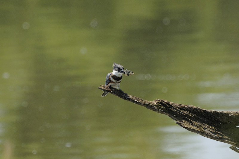 Belted Kingfisher (2)