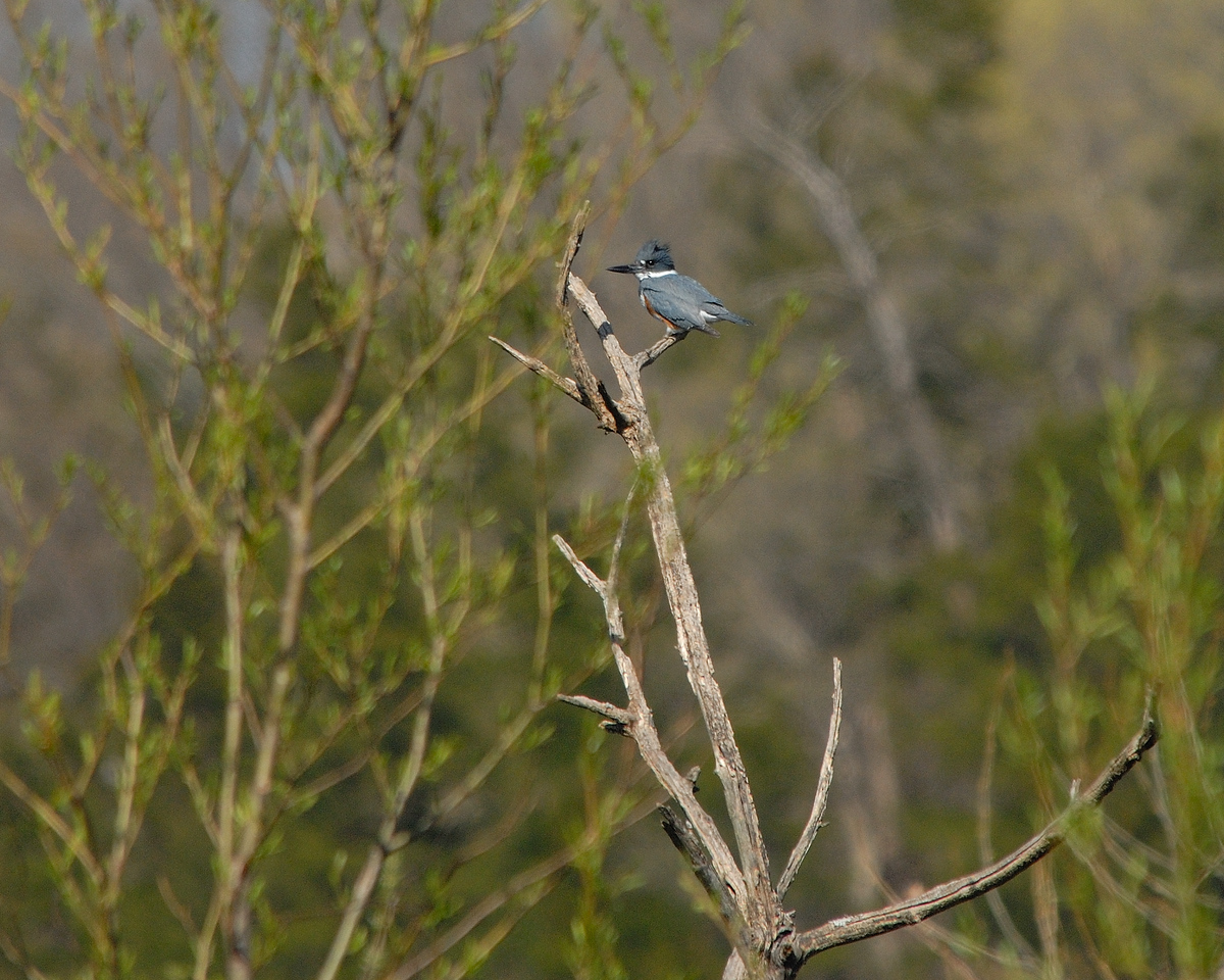Belted Kingfisher (17)