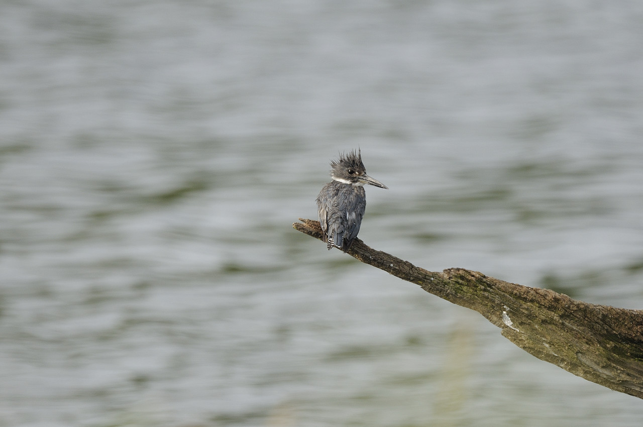 Belted Kingfisher (10)