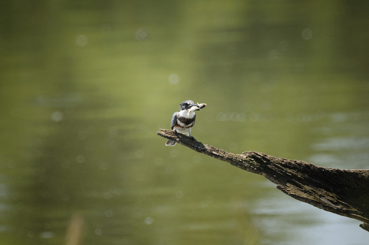 Belted Kingfisher (15)