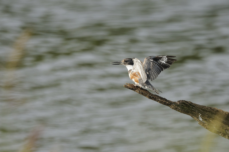 Belted Kingfisher (9)