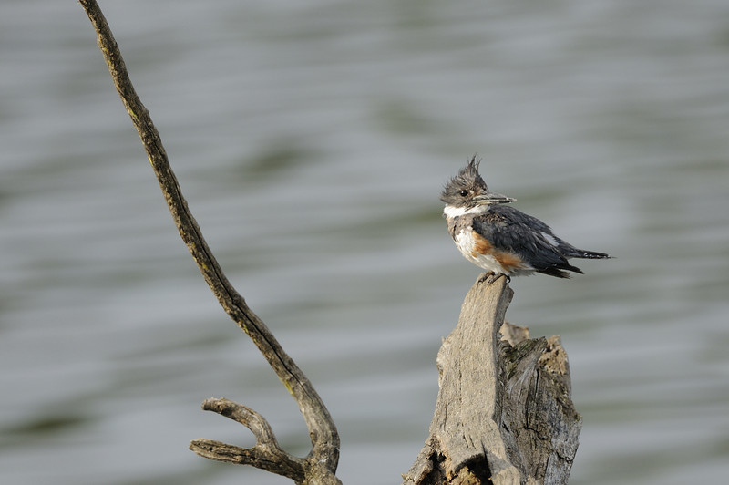 Belted Kingfisher (7)