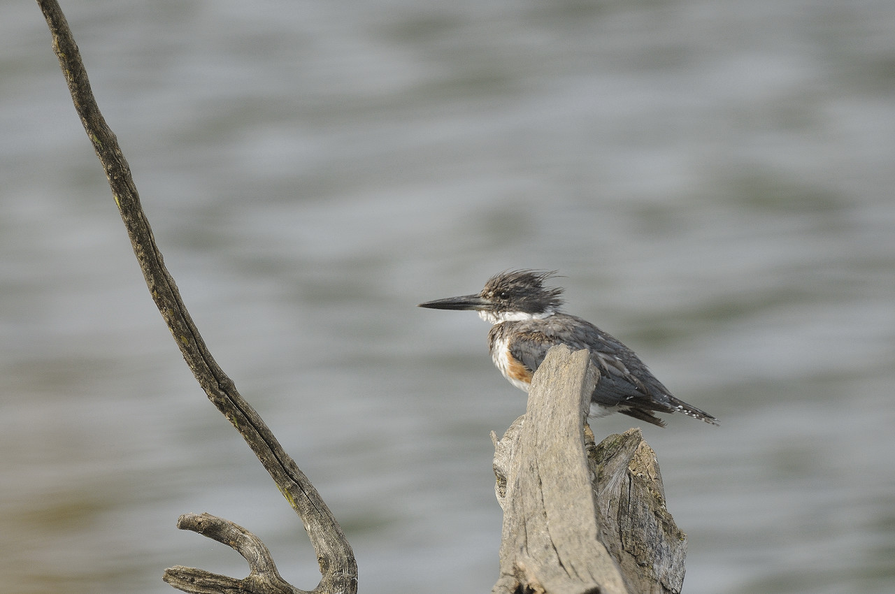 Belted Kingfisher (11)