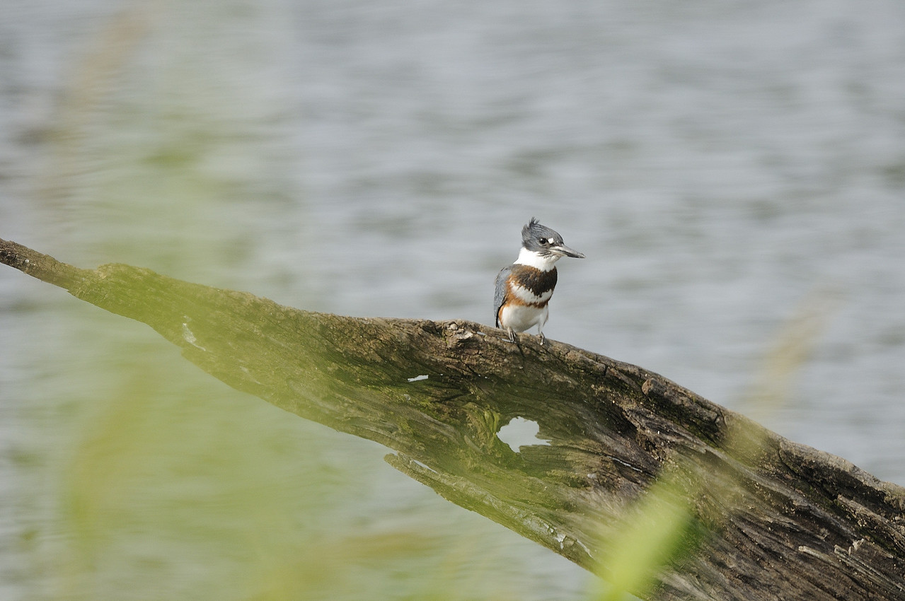 Belted Kingfisher (12)