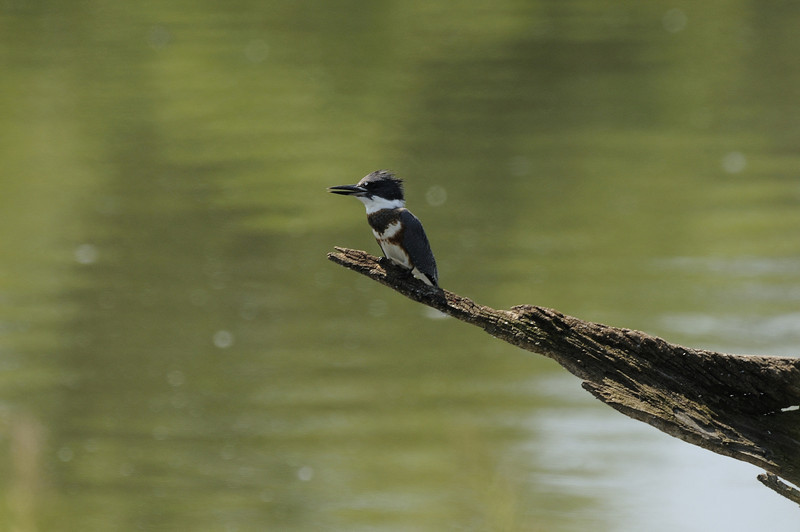 Belted Kingfisher (4)