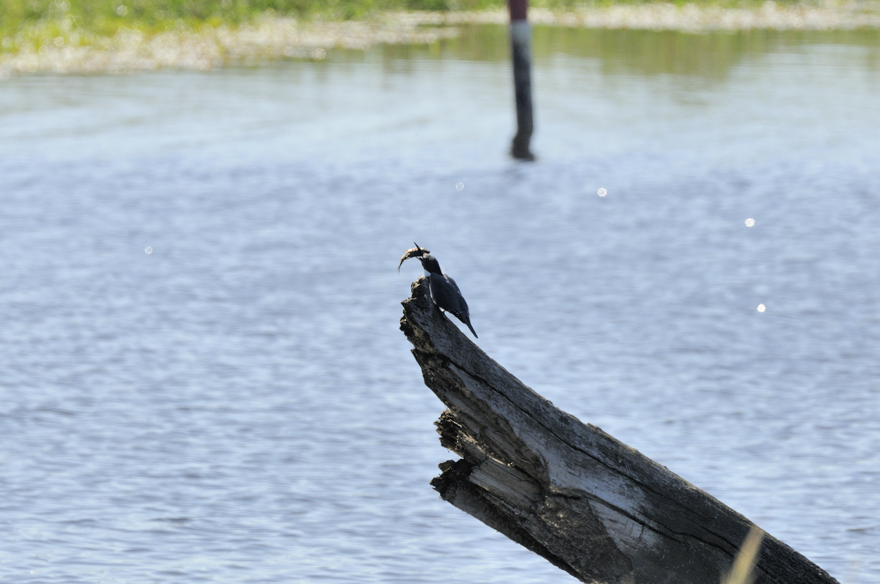 Belted Kingfisher (19)
