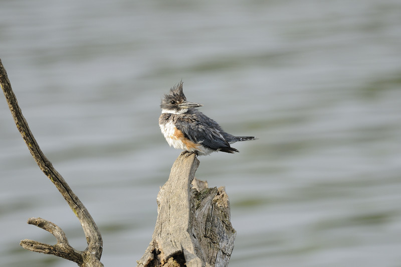 Belted Kingfisher (6)