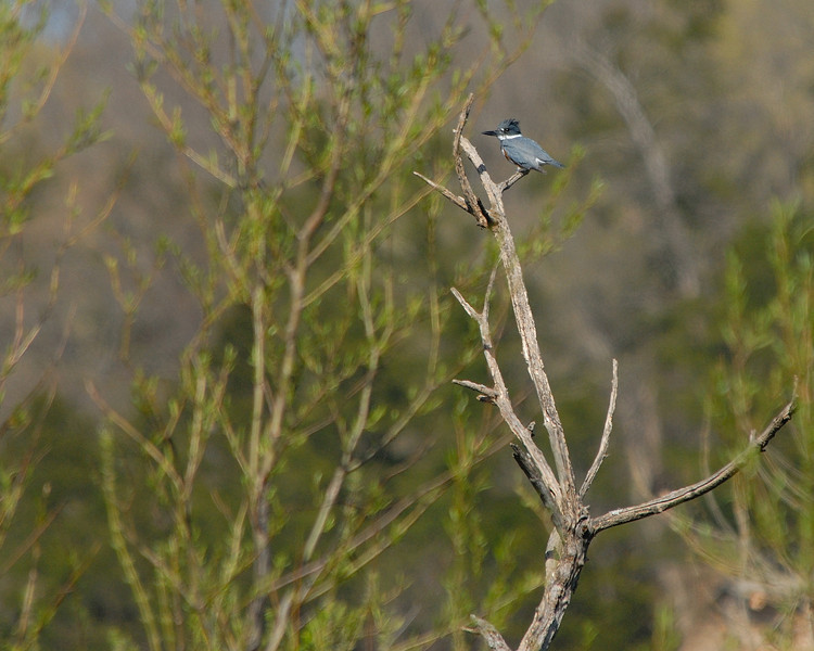 Belted Kingfisher (18)