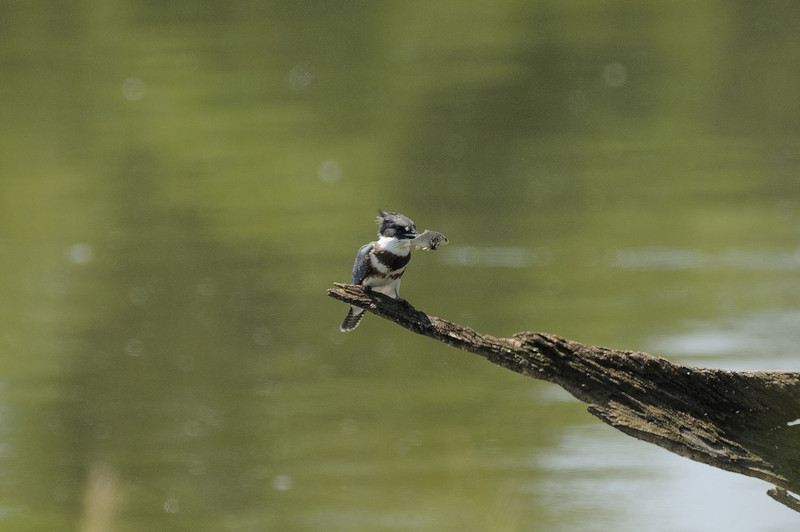 Belted Kingfisher (3)