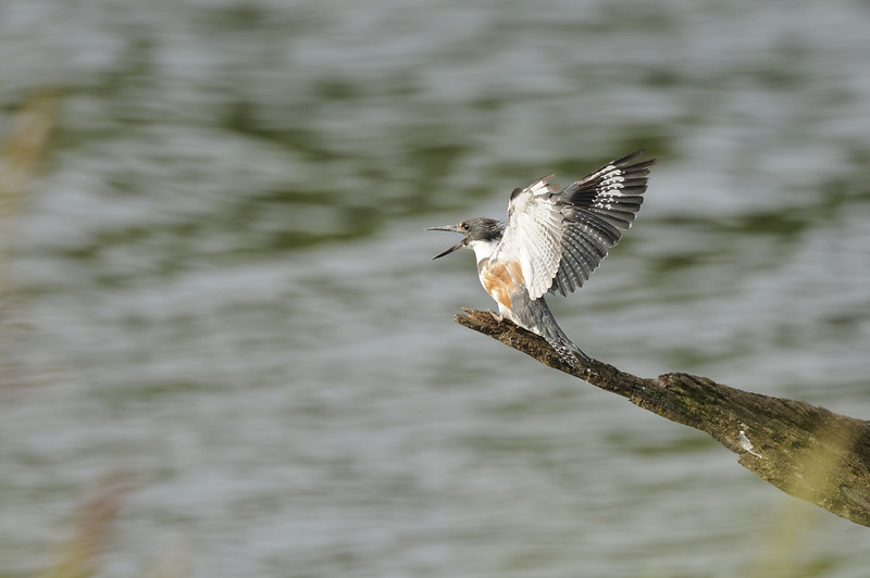 Belted Kingfisher (8)