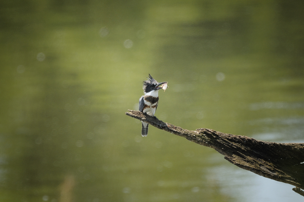Belted Kingfisher (16)