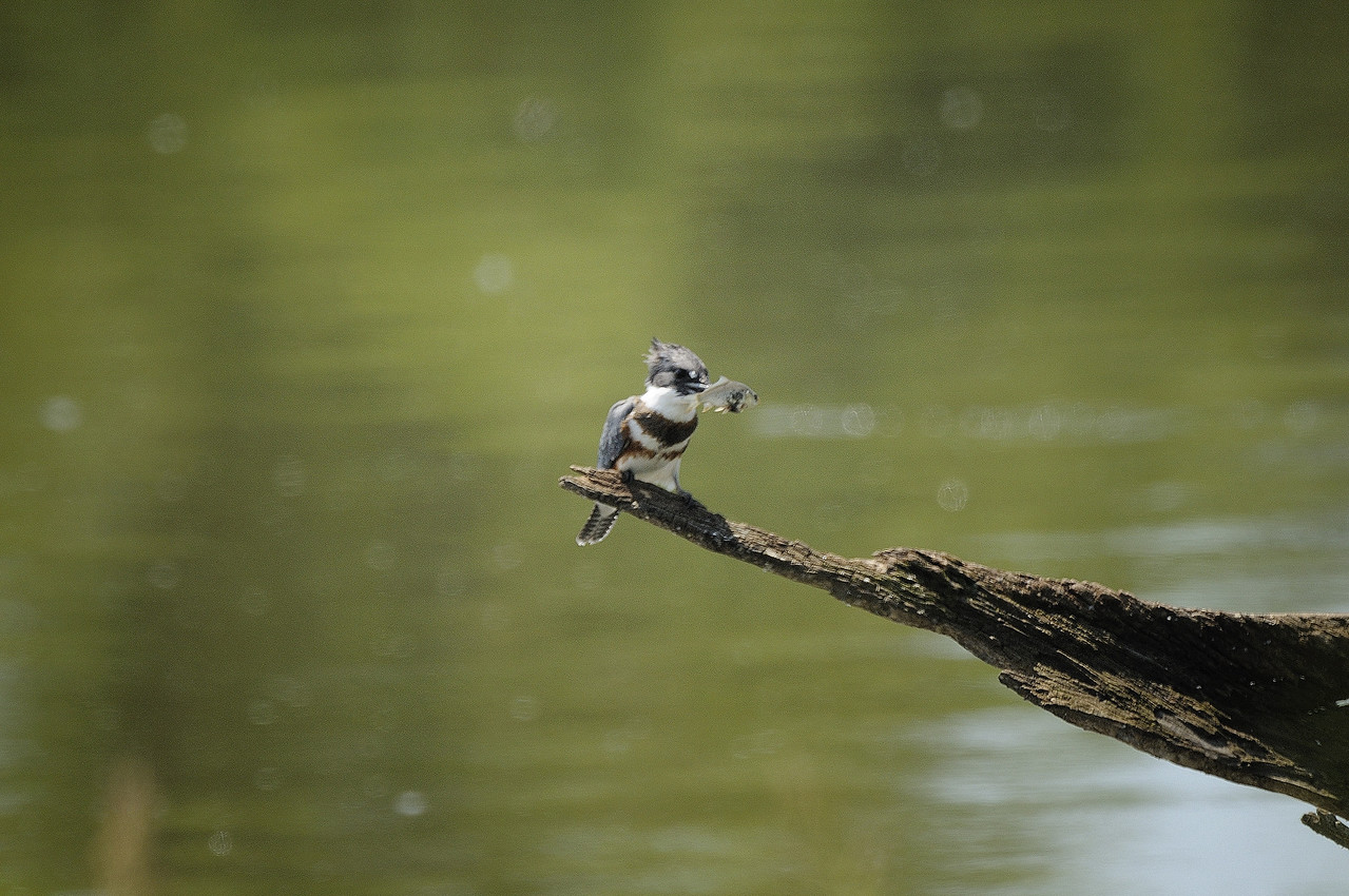 Belted Kingfisher (14)
