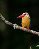 """This photograph of a Stork-billed Kingfisher was captured in Tanjung Puting National Park in Borneo, Indonesia (5/13).  <FONT COLOR=""""RED""""><h5>This photograph is protected by the U.S. Copyright Laws and shall not to be downloaded or reproduced by any means without the formal written permission of Ken Conger Photography.<FONT COLOR=""""RED""""></h5>"""