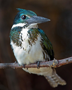 This photograph of a Amazon Kingfisher was captured in the Pantanal, Brazil (8/11).  This photograph is protected by the U.S. Copyright Laws and shall not to be downloaded or reproduced by any means without the formal written permission of Ken Conger Photography.