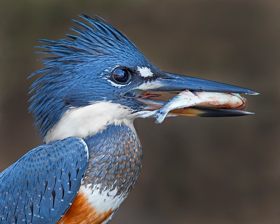 This photograph of a Ringed Kingfisher with a recently caught fish was captured in the Pantanal, Brazil (8/11).  This photograph is protected by the U.S. Copyright Laws and shall not to be downloaded or reproduced by any means without the formal written permission of Ken Conger Photography.