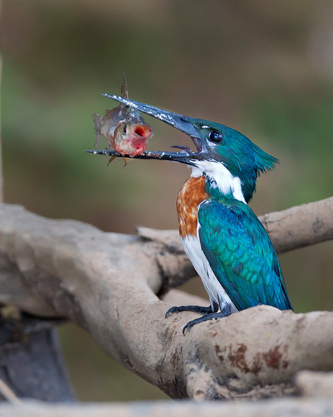 This photograph of a Amazon Kingfisher with a freshly caught fish was captured in the Pantanal, Brazil (8/11).  This photograph is protected by the U.S. Copyright Laws and shall not to be downloaded or reproduced by any means without the formal written permission of Ken Conger Photography.