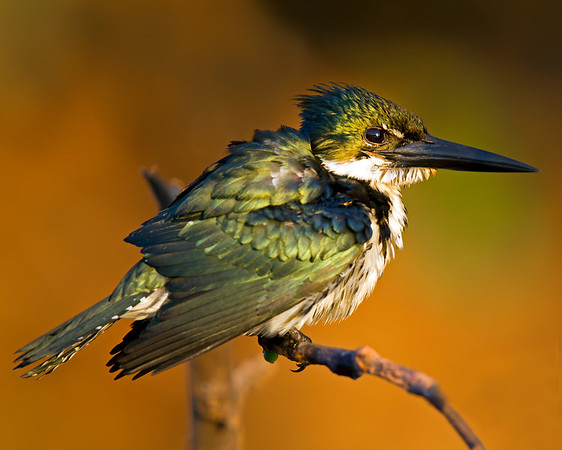 This photograph of an Amazon Kingfisher was captured in the Pantanal, Brazil (8/11).  This photograph is protected by the U.S. Copyright Laws and shall not to be downloaded or reproduced by any means without the formal written permission of Ken Conger Photography.