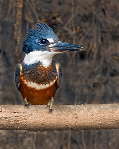 This photograph of a Ringed Kingfisher was captured in the Pantanal, Brazil (8/11).  This photograph is protected by the U.S. Copyright Laws and shall not to be downloaded or reproduced by any means without the formal written permission of Ken Conger Photography.