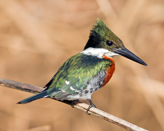 This photograph of a male Green Kingfisher was captured in the Pantanal area of Brazil (8/12).  This photograph is protected by the U.S. Copyright Laws and shall not to be downloaded or reproduced by any means without the formal written permission of Ken Conger Photography.