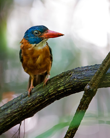 "This photograph of a Green-backed Kingfisher was captured in Tangkoko National Park in Sulawesi, Indonesia (5/13).  <FONT COLOR=""RED""><h5>This photograph is protected by the U.S. Copyright Laws and shall not to be downloaded or reproduced by any means without the formal written permission of Ken Conger Photography.<FONT COLOR=""RED""></h5>"