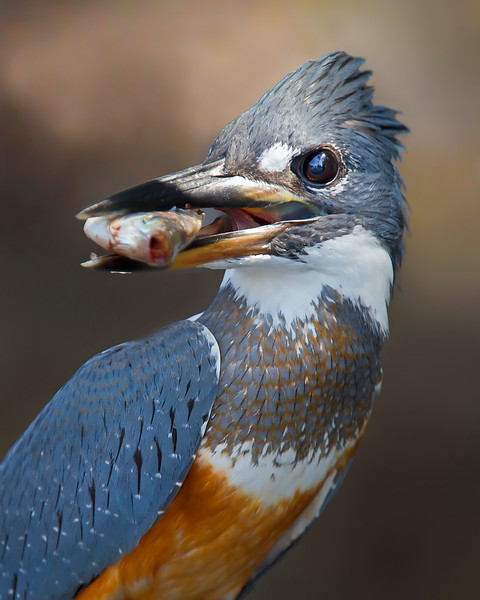 This photograph of a Ringed Kingfisher with a freshly caught fish was captured in the Pantanal, Brazil (8/11).  This photograph is protected by the U.S. Copyright Laws and shall not to be downloaded or reproduced by any means without the formal written permission of Ken Conger Photography.