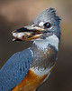 Kingfishers : A collection of international kingfisher images.