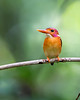 """This photograph of a rare Sulawesi Kingfisher was captured in Tangkoko National Park in Sulawesi, Indonesia (5/13).  <FONT COLOR=""""RED""""><h5>This photograph is protected by the U.S. Copyright Laws and shall not to be downloaded or reproduced by any means without the formal written permission of Ken Conger Photography.<FONT COLOR=""""RED""""></h5>"""