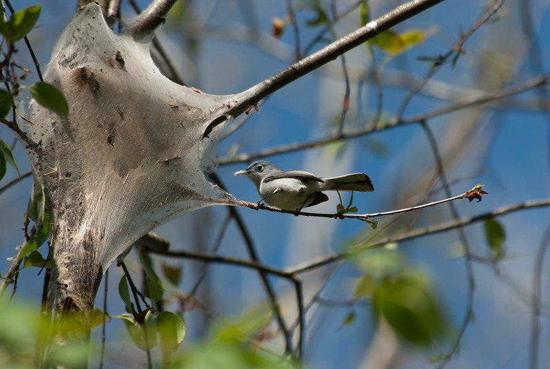 Blue-gray Gnatcatcher (1)