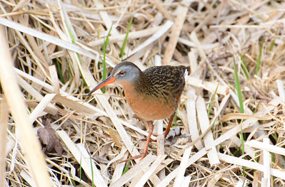 Virginia Rail - Yarker Road marsh