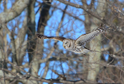 Barred Owl - Lemoine Point Conservation Area