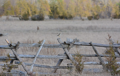 Upland Sandpiper on fence - Napanee IBA