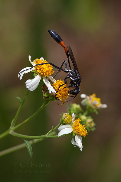 Thread-waisted Wasp on Spanish Needles (Kissimmee Prairie Preserve)