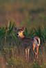 White-tailed Deer fawn (Kissimmee Prairie Preserve)